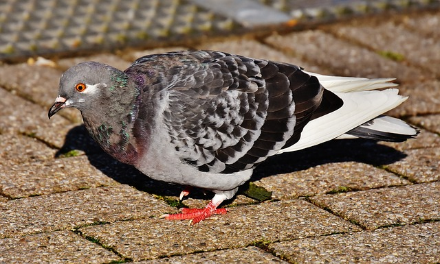City Pigeon, Foraging, Dove, Bird, Feather, Nature, Fly