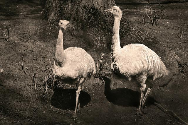 Greater Rhea, Bird, Flightless, Plumage, Feather, Beak