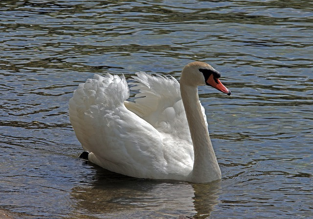 Swan, Bird, Waters, Lake, Animal World, Feather, Nature