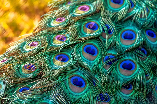 Peacock, Peacock Feathers, Feather, Nature, Colorful