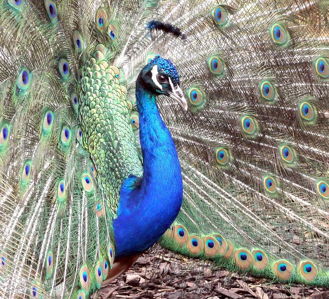 Peacock, Bird, Plumage, Feather, Pattern, Elegant