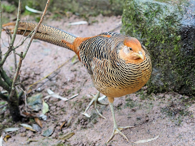 Goldfasan, Pheasant, Bird, Colorful, Feather, Poultry