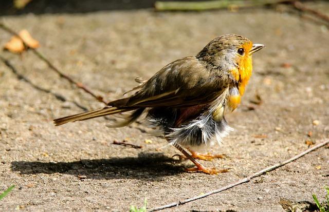 Animals, Bird, Robin, Feather, Moult, Ill, Plumage