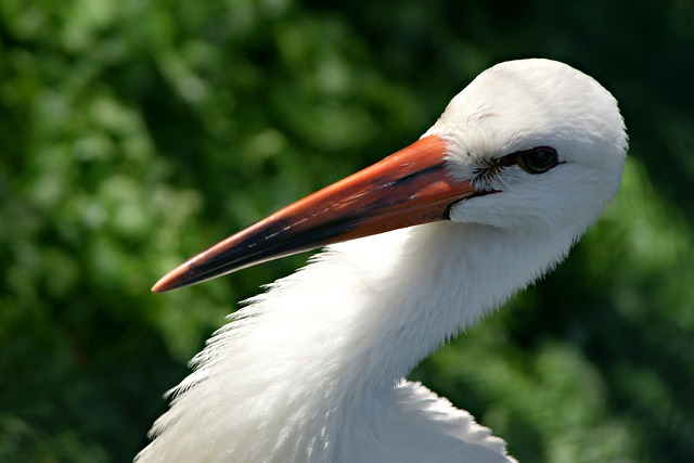 Stork, Feather, Bird, Animals, Portrait