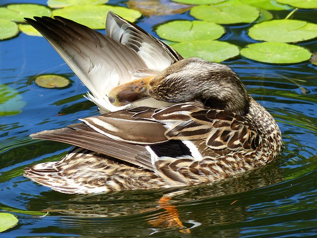 Duck, Water, Bird, Feathered, Nature, Wildlife, Animal