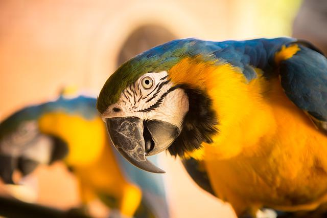 Animal, Bird, Close-up, Cute, Feathers, Macaw, Parrot