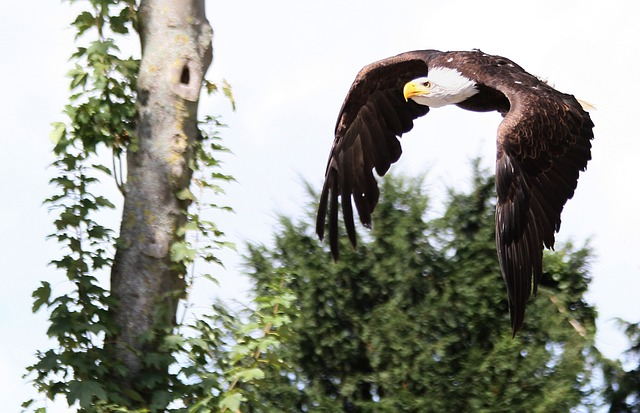 Eagle, Raptor, Bird, Feathers, Bald Eagle