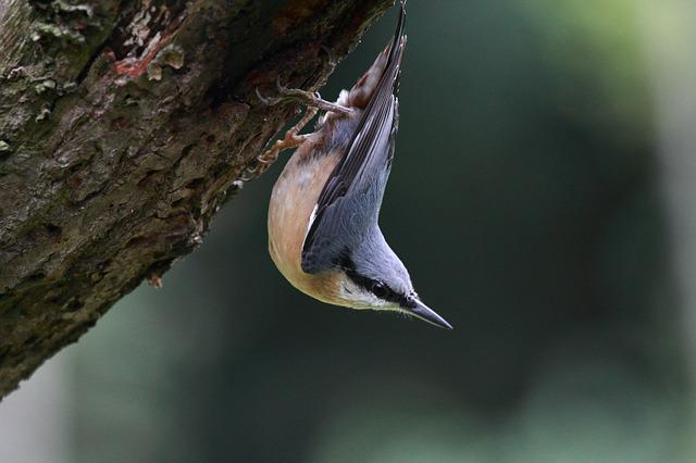 Nuthatch, Bird, Wildlife, Nature, Feathers, Beak