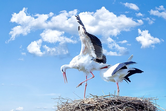 Storks, Birds, Nest, Wings, Feathers, Plumage, Animals