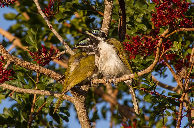 Blue Faced Honeyeater, Birds, Young, Fluffy, Feathers