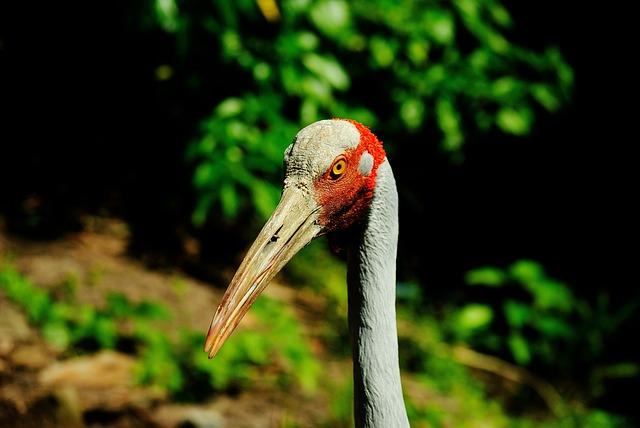 Brolga, Beak, Tall, Feathers, Crane, Australian