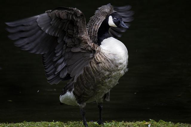 Bird, Feathers, Duck, Ali, Open