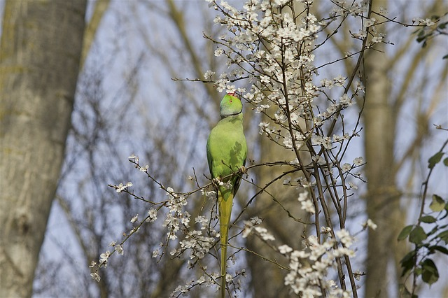 Parakeet, Collar, Nature, Spring, Animal, Feathers