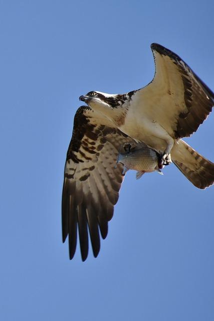 Animal, Sky, Bird, Wild Birds, Raptor, Osprey, Feathers