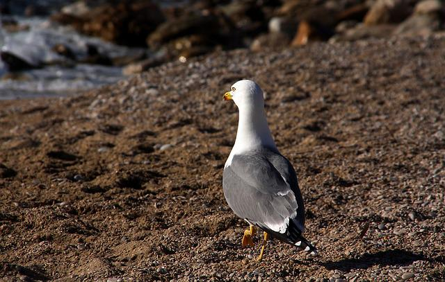 Seagull, Birds, Feathers, Sea, Animal, Seabird, White