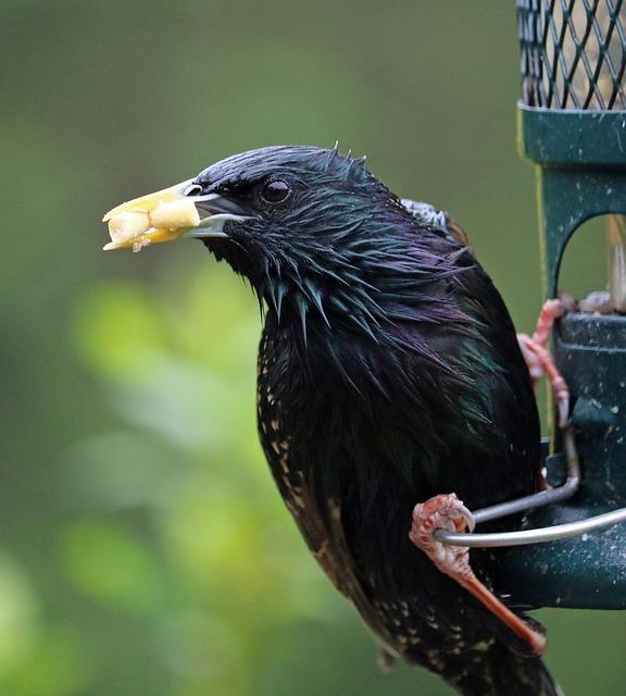 Starling, Feeding, Bird, Feeder