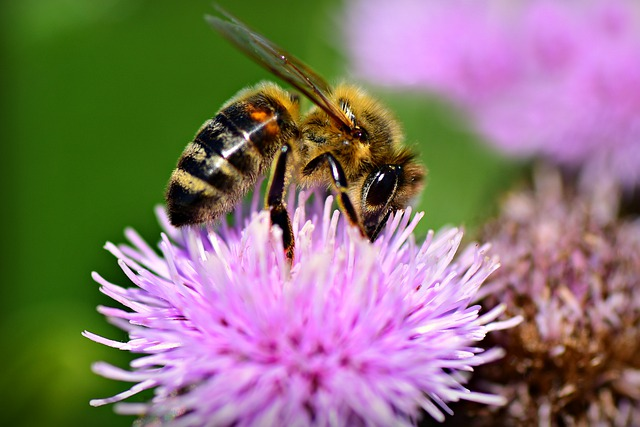 Bee, Insect, Animal, Feeding, Pollination, Thistle