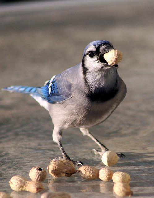 Bird, Bluejay, Feeding