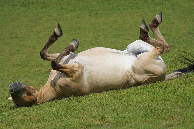 Przewalski, Wild Horse, Pasture, Rolling, Feel At Home