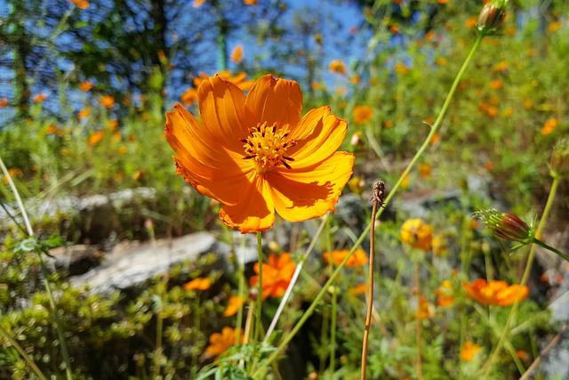 In Autumn, Cosmos, Orange, Autumn, Scenery, Feel