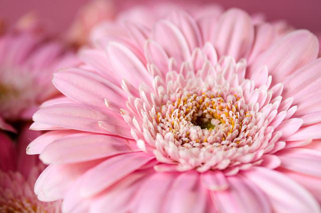 Gerbera, Pink, Flower, Feeling, Nature, Tenderness Pink