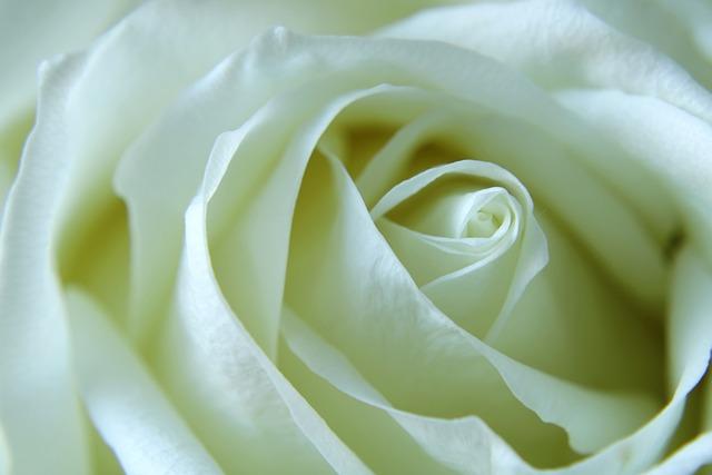 Rose, White Rose, Flower, Macro, Feeling, Passion