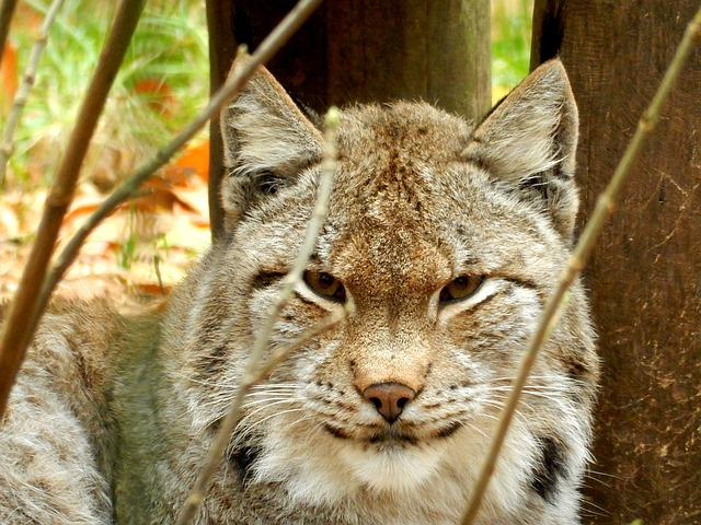 Lynx, Zoo, Wildcat, Cat, Attention, Felidae, Predator
