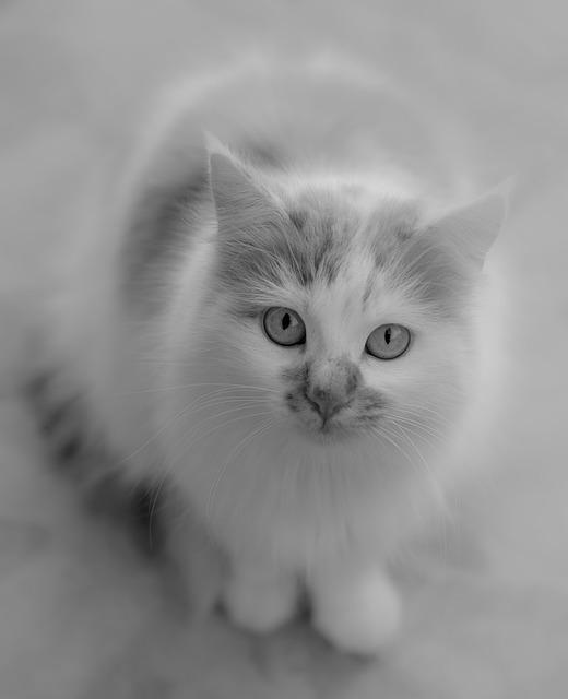 Cat, Black And White, Pet, Feline