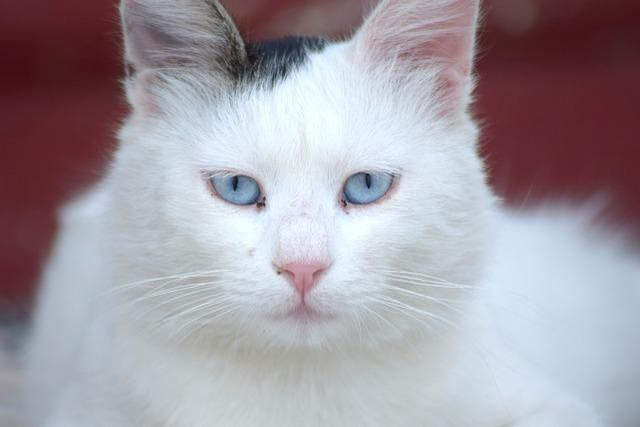 Cat, Feline, Blue Eyes, White Cat, Greece, Rhodes