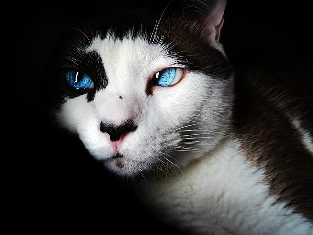 Siamese, Cat, Pet, Blue Eyes, Feline, White