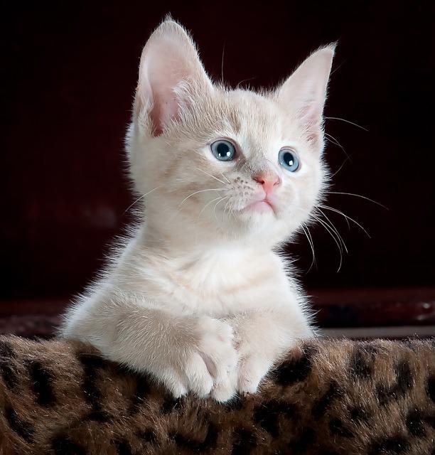 Kitty, Cat, Kitten, Pet, Animal, Cute, Feline, Domestic