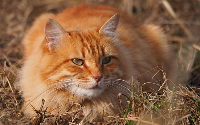 Animal, Cat, Feline, Roux, Portrait
