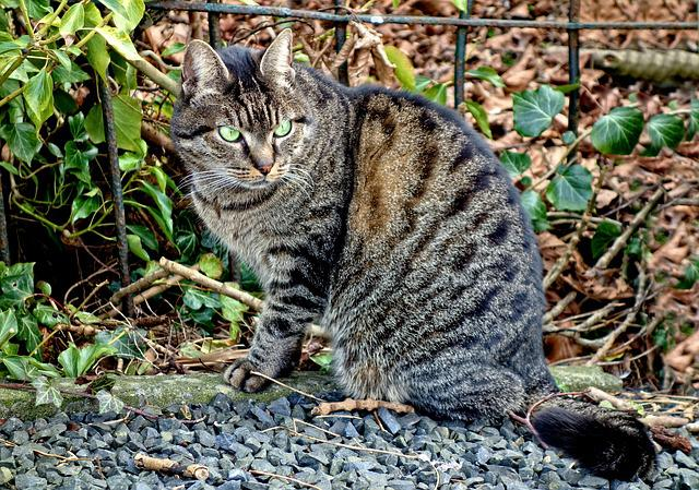 Cat, Tabby, Animal, Mammal, Feline, Domestic, Looking
