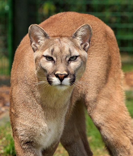 Cougar, Mountain Lion, Puma Concolor, Big Cat, Feline