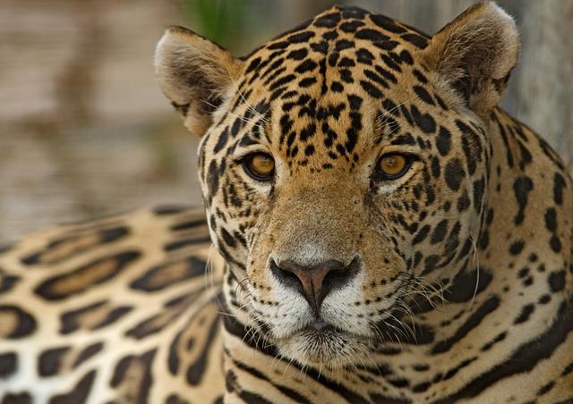 Jaguar, Feline, Spots, Mammal, Exotic, Conservation