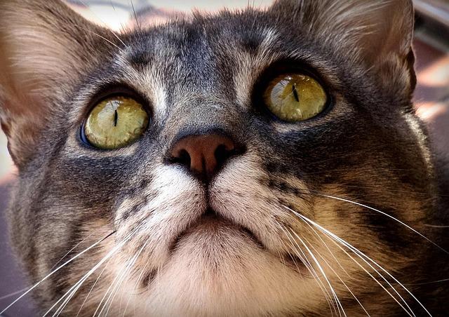 Cat, Cats, Feline, Felines, Animal, Animals, Pet, Look