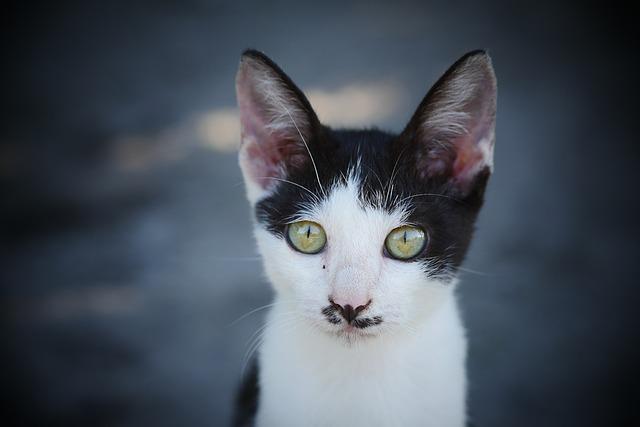 Cat, Kitten, Animals, Pet, Feline, Petit, Cute