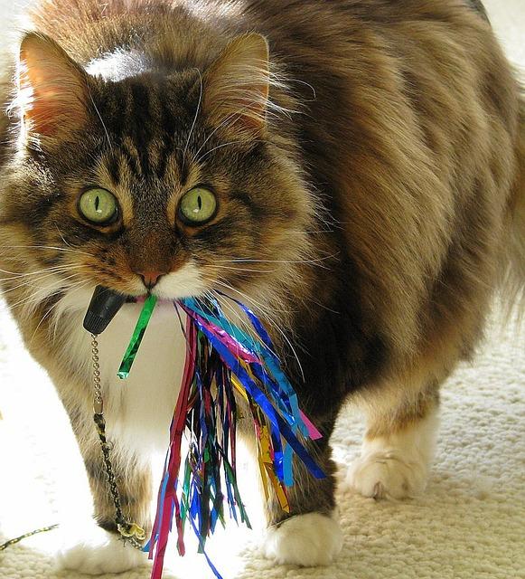 Cat, Maine Coone, Animal, Domestic, Pet, Feline, Maine