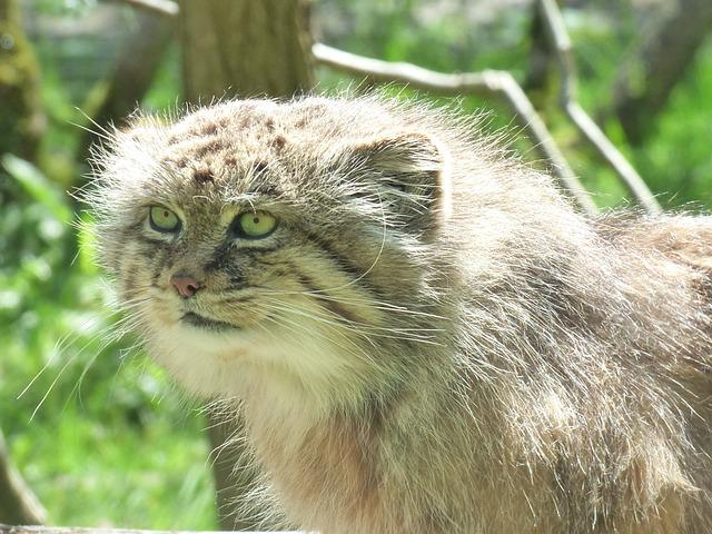 Manul, Feline, Park Felines, Nesles, Zoo