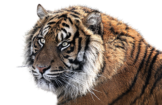 Tiger, Tiger Head, Animal, Feline, Png