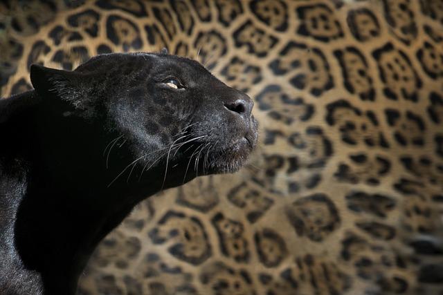 Leopard, Black Panther, Zoo, Feline, Animal
