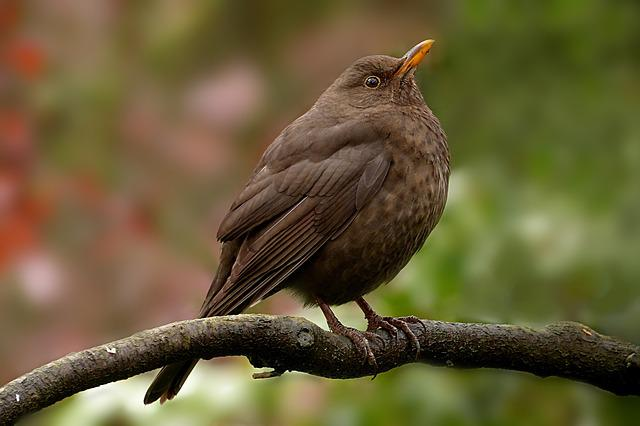 Animal, Bird, Blackbird, Turdus Merula, Female, Brown