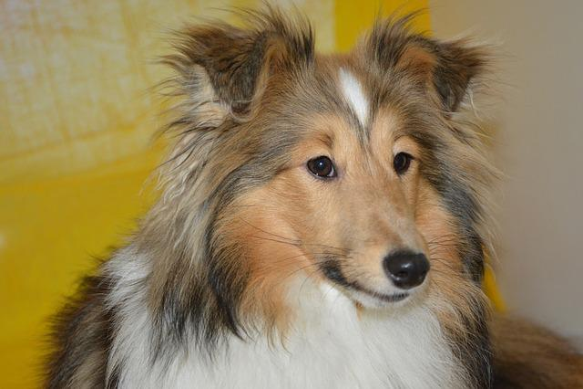 Dog, Bitch, Shetland Sheepdog, Female, Bitch Nayana