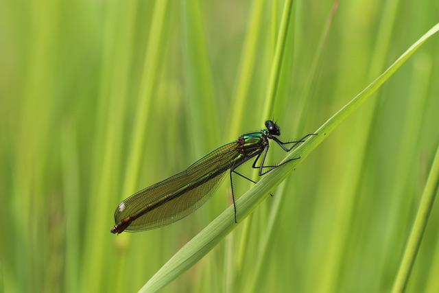 Banded Demoiselle, Female, Dragonfly, Nature