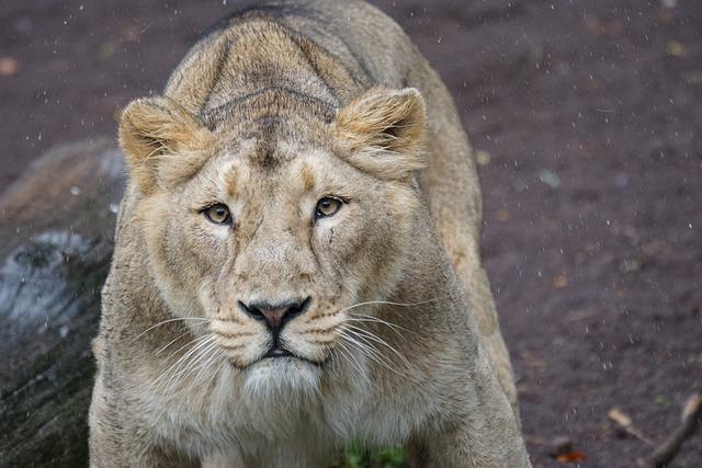 Lion, Indian Lion, Lioness, Female, Cat, Predator