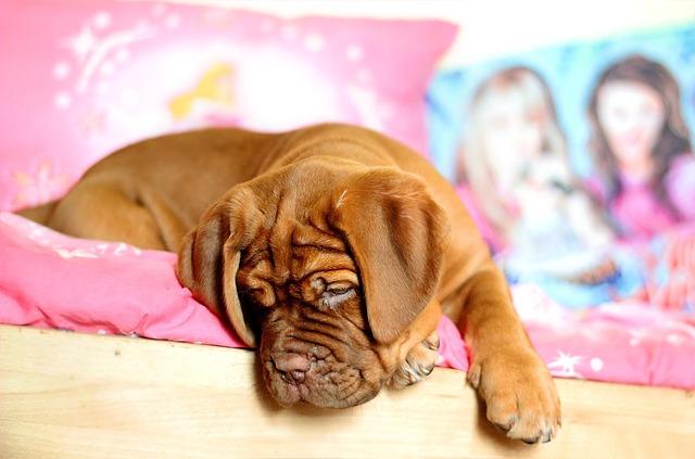 Puppy, Dogue De Bordeaux, Bordeaux, Dog, Female, She