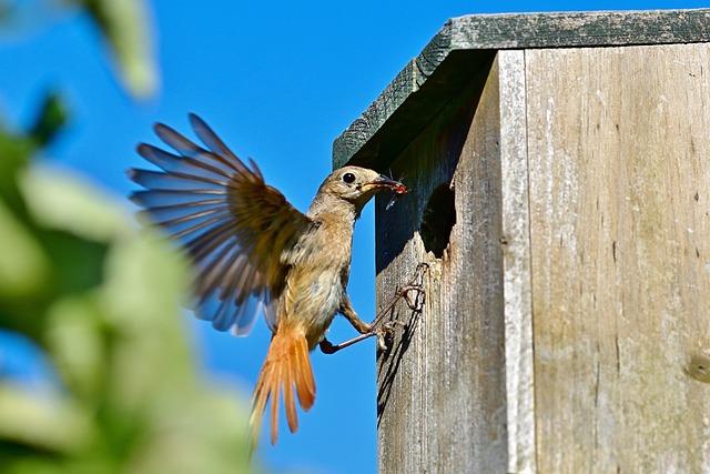 Common Redstart, Female, Bird, Songbird, Nature