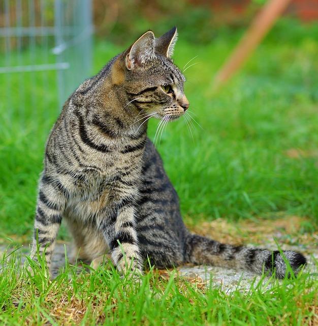 Cat, Female, Garden, Three Coloured, Domestic Cat