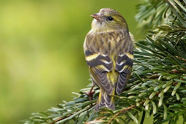 Cape Canary, Serinus, Female, Bird, Animal, Winter