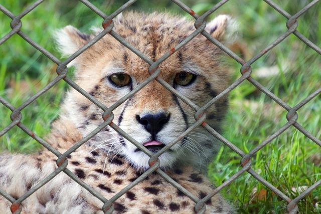 Cheetah, Young Animal, Predator, Animal World, Fence